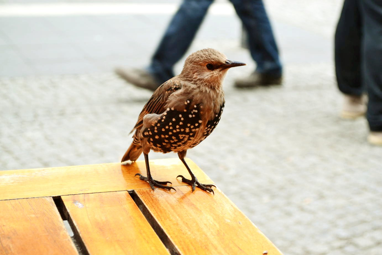 Berlin Birdie